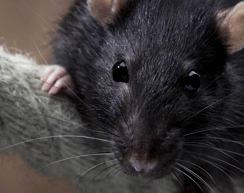 Derattizzazione Ratto nero comune