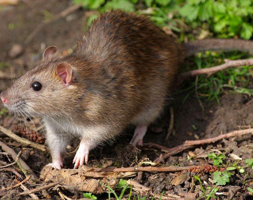 Derattizzazione Ratto grigio